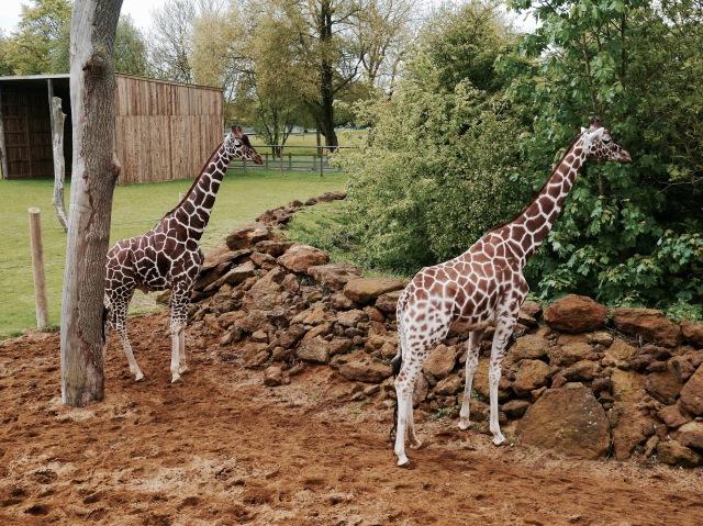 ZSL whipsnade zoo giraffes