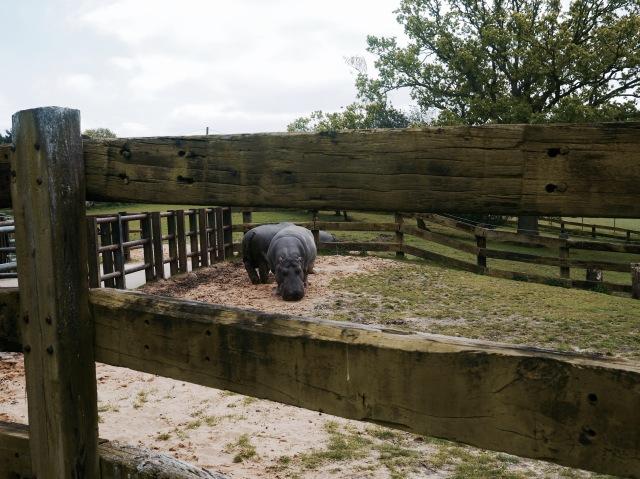 ZSL whipsnade zoo hippo