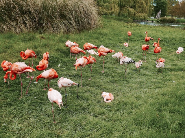 ZSL whipsnade zoo flamingoes