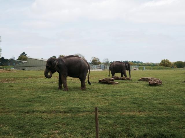 ZSL whipsnade zoo elephant