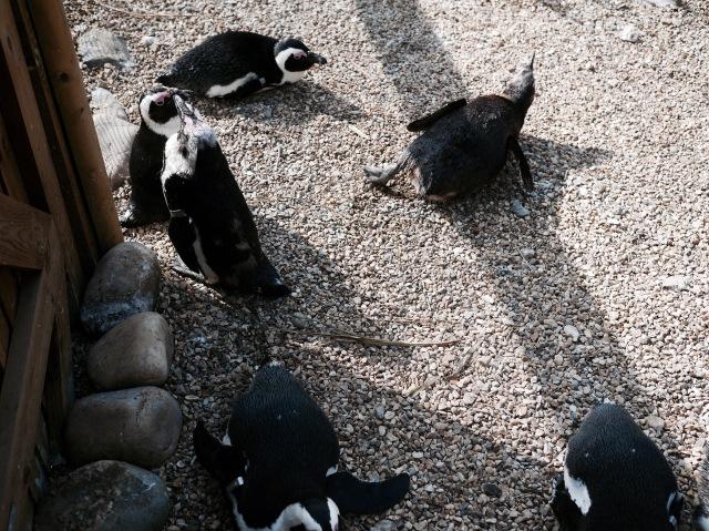 ZSL whipsnade zoo penguins